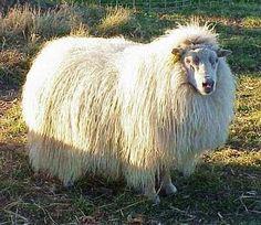 Icelandic sheep / isländisches Schaf: