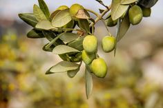 Olive Types Guide for the Sophisticated Gourmet #olive #oliveoil #gourmet #gourmandise #food #foodblogger #foodblog