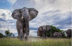 Zambia safari highlights include the Busanga Plains in the northern part of Kafue National Park, and the Luangwa Valley, home of the walking safari Beautiful Creatures, Animals Beautiful, Cute Animals, Wild Animals, African Elephant, African Safari, Elephas Maximus, Elephants Photos, Elephant Love