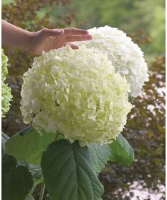 Incrediball Hydrangea (Hydrangea arborescens Incrediball PPAF) at Wayside Gardens Hydrangea Shrub, Planting Flowers, White Flowers, Plants, Colorful Plants, Beautiful Flowers, Smooth Hydrangea, Hydrangea Garden, Shade Plants