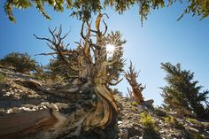 The Ancient Bristlecone Pine Forest, Shulman Grove is located in the White Mountains above the Owens Valley in California.  I've been there several times - the trees remind me of dancers.  A most special place.  Loved hiking and camping there.