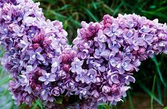 Purple, Lilac, Syringa vulguris. Lovely color, very fragrant flowers, spring in the air.