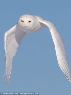Marc Latremouille photographs a Snowy Owl as it swoops and captures mouse Majestic Animals, Like Animals, Animals Of The World, Eagle Pictures, Owl Pictures, Owl Photos, Beautiful Owl, Owl Crafts, Snowy Owl