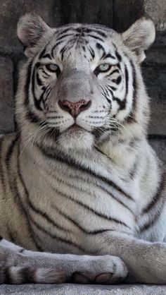 Cat Health and Cat Care Pretty Cats, Beautiful Cats, Animals Beautiful, Cute Cats, Cute Baby Animals, Animals And Pets, Wild Animals, Endangered Tigers, Rare Albino Animals