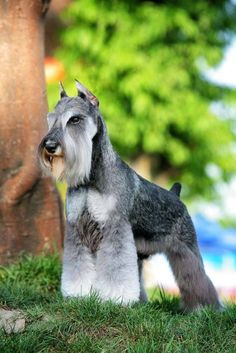 Cute Schnauzer Pictures What a beautiful dog!