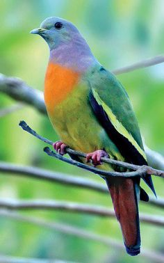 Pink necked green pigeon, found in Cambodia, Indonesia, Malaysia, Myanmar, the Philippines, Singapore, Thailand, and Vietnam