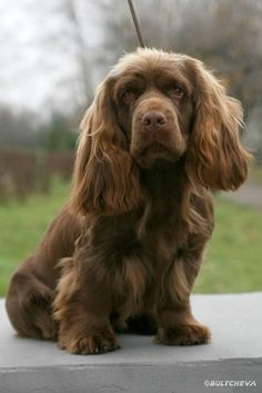 Sussex Spaniel Apartment Sussex Spaniel, remind...