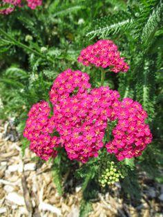 Common Yarrow 'New Vintage Rose' (Achillea millefolium)