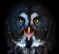 The Great Grey Owl  #photographytalk #amazingphotographs