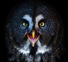 The Great Grey Owl  #photographytalk #amazingphotographs