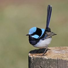 This is a Superb Fairy Wren. Photo by Christina Port Small Birds, Little Birds, Pretty Birds, Beautiful Birds, Parus Major, Rare Birds, Australian Animals, Wild Birds, Birds 2