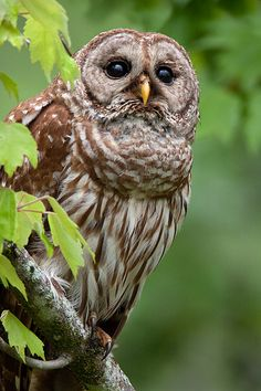 David Chauvin, Barred Owls, South Louisiana