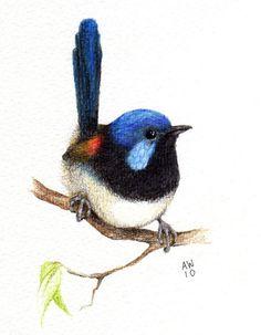 Variegated Fairy Wren Original pencil drawing by wildsunart