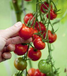 Näin kasvatat tomaattisi itse