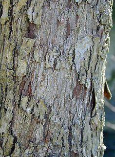 """Ailanthus glandulosa. Skyrækker er ikke naturligt hjemmehørende i Danmark men vokser på varm, tør bund i lyse bjergskove i Japan og det centrale og sydlige Kina.   På kinesisk kaldes Skyrækker """"ildelugtende træ"""". Træet lever sjældent mere end 50 år, selv om vildskud gør det muligt for træer at klone sig selv på ubestemt tid - og bliver af den grund betragtet som en invasiv art (""""træet fra helvede"""").  I Kina har Skyrækker en lang og rig historie.  Det blev nævnt i den ældste bevarede…"""