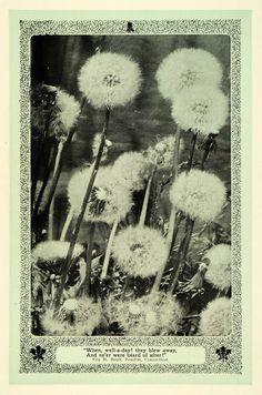 1907 Print Dandelions Seed Head Botanical Art Nouveau - ORIGINAL TIN6