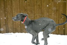 My blue great dane, Trajan, frolicking in the snow. :3