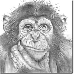 Chimp Greeting Card by British artist Sarah Boddy. Taken from an original pencil illustration and blank inside, this card is a striking choice for any occasion! Monkey Drawing Easy, Cartoon Monkey Drawing, Monkey Art, Cartoon Drawings, Cute Animal Drawings, Animal Sketches, Bird Drawings, Realistic Drawings, Art Drawings Sketches