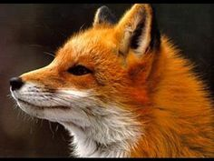 Ylvis - The Fox (what does the fox say?) Lyrics - YouTube