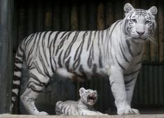 A rare white Indian tiger cub sits at the feet of its mother at a zoo in the  Czech Republic. It's one of triplets that were born a few weeks ago.