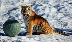 Tiger - YUK! | Flickr - Photo Sharing!