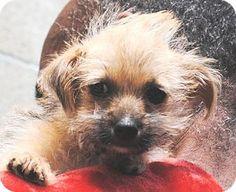 Long Beach, CA - Yorkie, Yorkshire Terrier/Shih Tzu Mix. Meet Macy 'M' Litter, a puppy for adoption. http://www.adoptapet.com/pet/12986248-long-beach-california-yorkie-yorkshire-terrier-mix