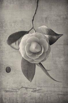 'La fleur de Camélia' photographe japonais Kenji Wakasugi 2016
