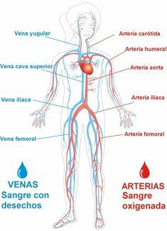 Human Body Organs, Human Body Systems, Human Anatomy Art, Human Anatomy And Physiology, Nursing School Notes, Cardiac Nursing, Medicine Student, Biomedical Science, Medical Anatomy