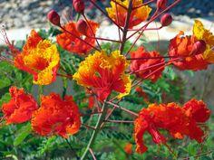 50 Pride of Barbados Flower Shrub Plant Seeds