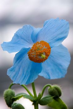 Blue Poppy Fruit Flowers, Rare Flowers, Flowers Nature, Wild Flowers, Beautiful Flowers, Poppy Flowers, Beautiful Nature Pictures, Love Pictures, Planting Poppies