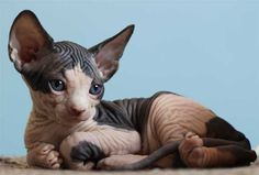Who says sphinx cats aren't cute?! They're like little aliens! :)