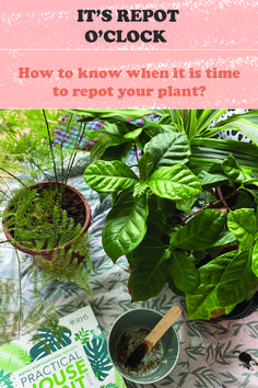 Basic tips to know when to repot your plant- step 01 #bitkibakım #asparagusfern #plantcare #lifewithplants #compost #multipurposesoil #soilmixture #repot #propagation #dolomite #pebbles #perlite #vermiculite #roots #drainage Air Plants, Indoor Plants, Easy House Plants, Asparagus Fern, House Plant Care, Garden Care, Propagation, Container Plants, Indoor Garden