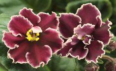SECRET RENDEZVOUS Standard African violet