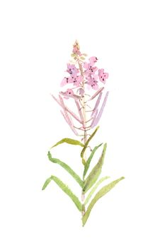 willow-herb, watercolor https://www.etsy.com/listing/156362566/summer-flowers-violet-willow-herb-st
