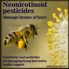 Commonly used pesticides are damaging honey bee brains, studies suggest.  Scientists have found that two types of chemicals called neonicotinoids and coumaphos are interfering with the insect's ability to learn and remember.
