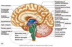 Human brain anatomys human brain labeled diagram neuroscience nice brain diagram google search ccuart Choice Image