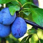 Jak prořezávat jabloně a hrušně - Užitková zahrada Plum, Blueberry, Fruit, Vegetables, Plants, Tvar, Gardening, Berry, Lawn And Garden