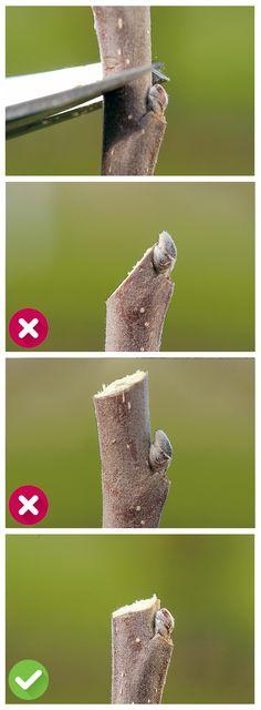 Werden die Äste nur eingekürzt, ist es nicht nötig auf Astring zu schneiden. Hier ist es wichtig, auf die Knospen zu achten!  - Suchen Sie eine nach außen gerichtete Knospe, damit der Neuaustrieb nicht nach innen wächst - Schneiden Sie schräg kurz über der Knospe (ca. 5 mm), damit das Wasser besser ablaufen kann - Lassen Sie nicht zu viel Trieb über der Knospe stehen - Scheiden Sie nicht zu dicht über der Knospe - Schneiden Sie nicht zu schräg, damit die Wunde möglichst klein bleibt.