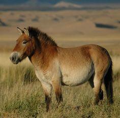 Przewalskis_horse_02.jpg (691×681)