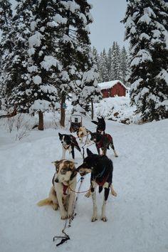 Bucket List: Dog Sledding in Jackson Hole, Wyoming — Bon Traveler