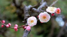 Blossoming apple tree (1920x1080, apple, tree)  via www.allwallpaper.in