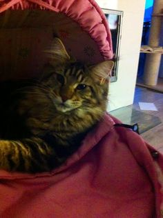 """Our Maine Coon Babyboy 5 months and 5 kilos Chamberlain Young Forever """"Ela/stinen"""""""
