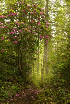 Some of the last Rhododendrons in the Green Mountain area for the year. Dripping pink goodness.  I took a drive up to the Olympics and it is still a few weeks off from their Rhodies poking through. Fun day hiking with Dene and watching her work magic with her camera.  Thought I would give you a break from my Palouse shots which I still have tons and tons of images.  Kitsap County Green Mountain