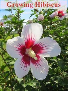Gardening - Hibiscus Plant Care
