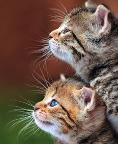 Whiskers on kittens.