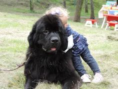Newfie and toddler cuddling