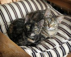 Sisters - my favorite kitty ever (Simone) looked just liked the tortoise shell here