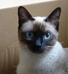 Siamese Kittens Siamese cat - beauty in her eyes (Basma) I Love Cats, Crazy Cats, Cool Cats, Siamese Kittens, Cats And Kittens, Funny Kittens, Bengal Cats, White Kittens, Cutest Animals