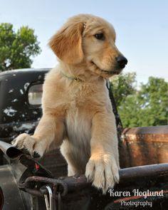 darling golden retriever puppy in an old truck