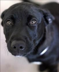 Black lab puppies in lexington ky